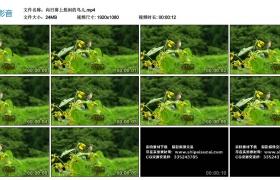【高清实拍素材】向日葵上悠闲的小鸟