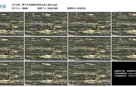 高清实拍视频丨鸭子在布满漂浮物的水面上游动