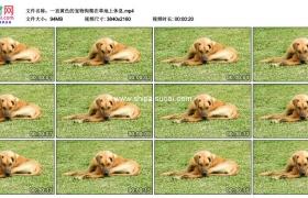 4K实拍视频素材丨一直黄色的宠物狗爬在草地上休息