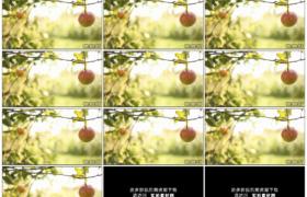 高清实拍视频素材丨阳光照射下树枝上挂着的红苹果