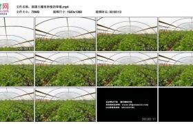 高清实拍视频素材丨摇摄大棚里种植的草莓
