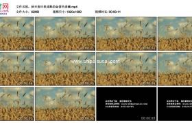 高清实拍视频素材丨秋天麦田里成熟的金黄色麦穗