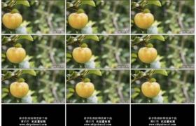 4K实拍视频素材丨摇摄树枝上挂着一个大苹果