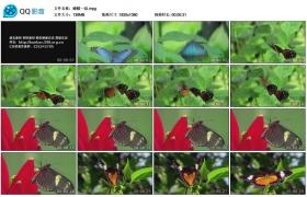 [高清实拍素材]蝴蝶一组