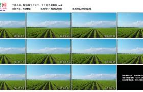 高清实拍视频丨航拍蓝天白云下一大片绿色葡萄园