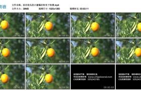 高清实拍视频丨挂在枝头的小蜜橘在阳光下轻摆