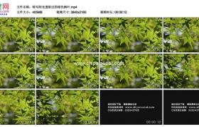 4K实拍视频素材丨特写阳光透射过的绿色枫叶
