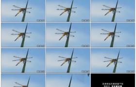 高清实拍视频素材丨一只蜻蜓站在一片绿色的草叶上