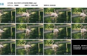 高清实拍视频丨绿水中两只火烈鸟的舞步慢镜头
