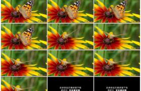 高清实拍视频素材丨特写一只蝴蝶在花朵花蕊上采集花蜜