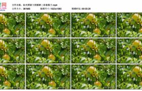 高清实拍视频素材丨阳光照射下的梨树上挂着梨子