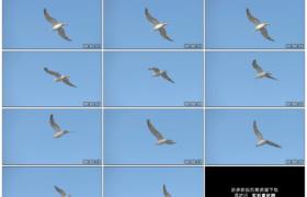 高清实拍视频素材丨一只海鸥在蓝天上展翅飞翔