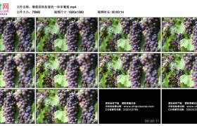 高清实拍视频丨葡萄园里挂着的一串串葡萄