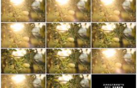 高清实拍视频素材丨太阳眩光下果树上挂着的青苹果