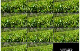 高清实拍视频素材丨阳光下茶园里的茶树