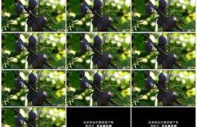 高清实拍视频素材丨树枝上挂着的紫色李子随风摆动