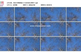 4K实拍视频素材丨仰拍冬季晴朗蓝天下光秃秃的白桦树干
