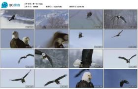 [高清实拍素材]鹰一组1