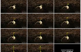 4K实拍视频素材丨种子在泥土中生根发芽长出叶子延时摄影