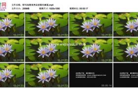 高清实拍视频素材丨特写池塘里两朵淡紫色睡莲