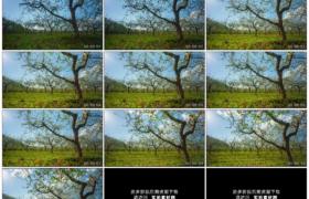 高清实拍视频素材丨晴天流云下春天开花的苹果园