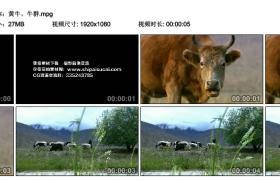 [高清实拍素材]黄牛、牛群