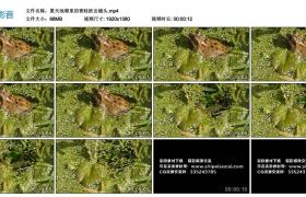 高清实拍视频丨夏天池塘里的青蛙跃出镜头