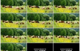 高清实拍视频素材丨在绿色夏季牧场上放牧牛群