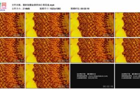 高清实拍视频素材丨微距拍摄金黄的向日葵花盘