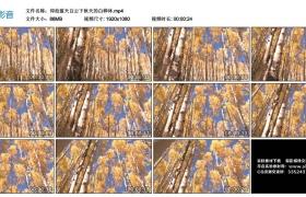 高清实拍视频丨仰拍蓝天白云下秋天的白桦林