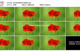 4K实拍视频素材丨特写两朵鲜艳的红色罂粟花