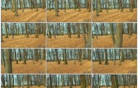4K实拍视频素材丨秋天铺满黄色枯叶的树林里光秃秃的树木