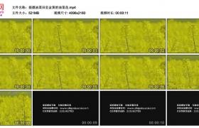 4K实拍视频素材丨摇摄油菜田里金黄的油菜花