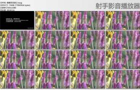[高清实拍素材]蝴蝶采花粉2