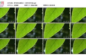 高清实拍视频素材丨特写阳光透射过一片树叶的叶脉