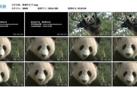 [高清实拍素材]熊猫吃竹子
