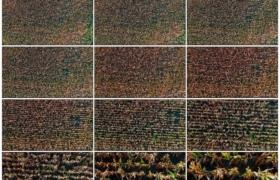 4K实拍视频素材丨无人机鸟瞰拍摄秋天的玉米地