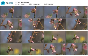 [高清实拍素材]蜜蜂与桃花