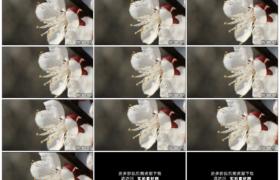 高清实拍视频素材丨特写树枝上一朵白色的樱花随风摆动