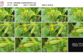 高清实拍视频素材丨菜园里藤蔓上结着新鲜带刺的黄瓜