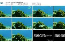 高清实拍视频丨海底的鱼在水草间游动