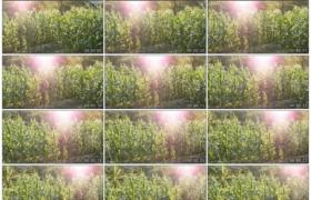 4K实拍视频素材丨摇摄阳光照射下一片随风摇摆的玉米地