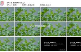4K实拍视频素材丨嫩绿的薄荷叶子