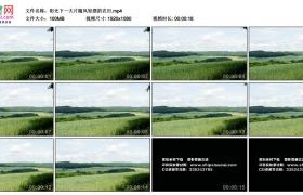 高清实拍视频丨阳光下一大片随风轻摆的农田