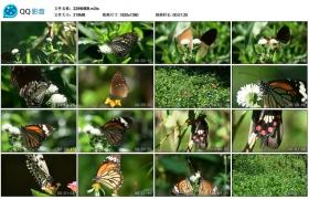 【高清实拍素材】实拍蝴蝶