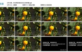 高清实拍视频素材丨阳光照射着挂在枝头的柠檬