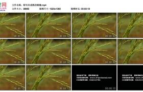 高清实拍视频丨特写稻田里未成熟的稻穗
