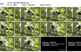 高清实拍视频丨喜鹊在桦树上啾啾鸣叫