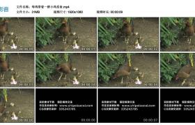 高清实拍视频丨母鸡带着一群小鸡觅食