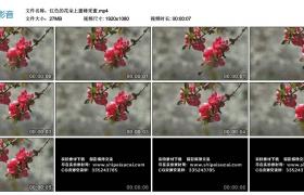 高清实拍视频丨红色的花朵上蜜蜂采蜜